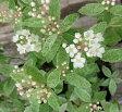 斑入りコデマリ ピンクアイス(桜でまり) 4号ポット苗(c20)(c22)