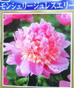 芍薬苗(シャクヤク苗)モンシェリージュレスエリー 4号苗(k...
