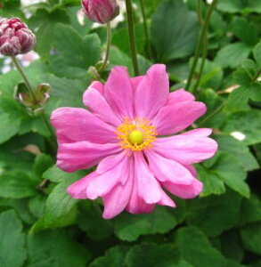 菊のような花 秋明菊(シュウメイギク) 赤八重(濃いピンク) 4号