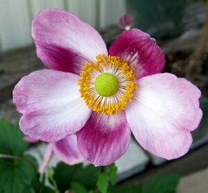 菊のような花秋明菊(シュウメイギク) ピンク一重 4号苗
