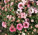 【ギョリュウバイ】梅のような花♪  ギョリュウバイ 薄いピンク4号丸型