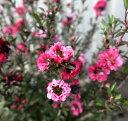 【ギョリュウバイ】梅のような花♪ギョリュウバイ ピンク系 3.5号苗