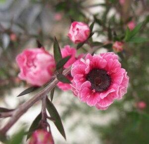 【ギョリュウバイ】梅のような花♪ギョリュウバイ ピンク