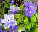 開花中、甘い香りが漂うニオイバンマツリ 5号