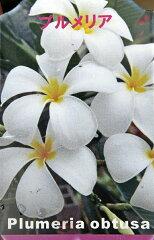 芳香性のあるプルメリアプルメリア 4.5号苗 オブツサ