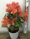ブーゲンビリア カリフォルニアオレンジ 4号鉢植え