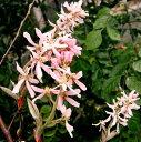 ピンク花のジューンベリーR ジューンベリー ロビンヒル(ピンク) 1.4m