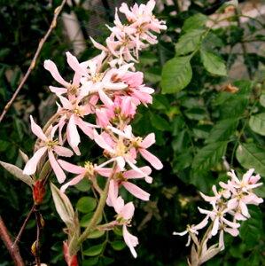 珍しい桃花種、花・果実・紅葉と楽しめるR ジューンベリー ロビンヒル(ピンク) 1.4m〜1.6m