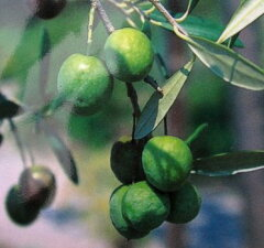 イタリア産オリーブノキ「現品」 オリーブの木 フラントイオ 2m121502