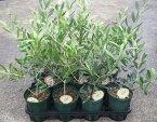 選べるオリーブの木 3.5号〜4号苗(d8)《シンボルツリーに最適なオリーブの苗木、庭木や鉢植えとして人気》 r