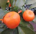 シークワーサー苗 4号鉢植え(h22)