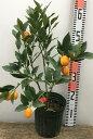 ぷちまる 種なしキンカン金柑苗 5号苗(h23)