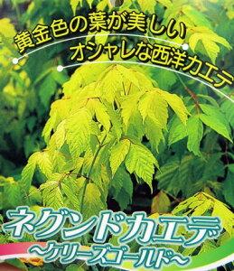 明るい黄金色の葉が印象的なオシャレな西洋カエデネグンドカエデ ケリーズゴールド 6号