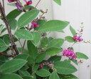 5月萩(サツキハギ) 紫