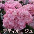 【花終わり】新品種!アジサイ プティルージュ 5号苗【17年入荷株】
