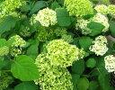 白いテマリ咲き米国のアジサイ アナベルアジサイ アナベル 3号ポット苗
