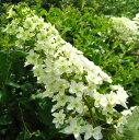 カシワバアジサイ八重咲き スノーフレーク6号 苗