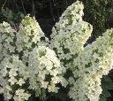 カシワバアジサイ八重咲き (スノーフレーク)1m