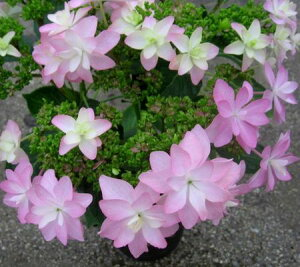 紫陽花 人気のあるあじさいアジサイ ダンスパーティー 4.5号苗