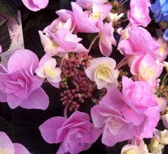 妖精の瞳 人気品種紫陽花 季節の変化も楽しめる♪アジサイ フェアリーアイ ピンク「14年入...