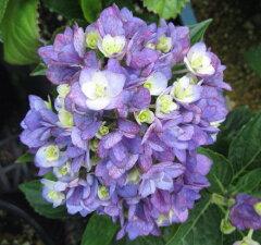 人気のユーミーシリーズ【アジサイ(紫陽花)アジサイ ユーミートゥギャザー 5号苗