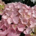 紫陽花アジサイ苗 ピンクキャンディ