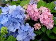 【17年入荷株】アジサイ(紫陽花・あじさい) 霧島の恵 5号鉢植え