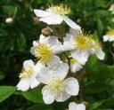 芳香のあるモッコウバラ香りモッコウバラ 6号