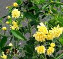 モッコウバラ 黄色八重 6号苗 行灯仕立て【オールドローズ】(i10)