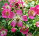 病気に強い 赤花の丸弁一重咲きつるバラ「安曇野(アズミノ)」 7号 【01】