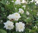 【バラ苗】モッコウバラ7号 行灯仕立て 白八重【オールドローズ】(f9)