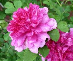 原種系バラ 二季咲きイザヨイバラ(十六夜薔薇)6号