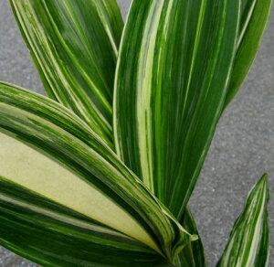 縞斑はらん(シマフハラン)5号鉢植え