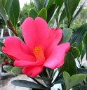 四季咲き アザレア椿(ツバキ)5号苗(h31)