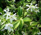 斑入りスタージャスミン(白花) 4.5号苗(i10)