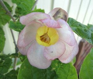 初夏に咲くロウバイ。切り花にも庭木におすすめナツロウバイ(夏蝋梅) 1.2m
