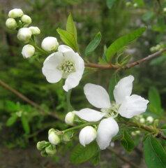 白い清楚な花をつけるリキュウバイ( 利休梅) 1.2m