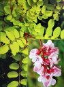 黄金葉が美しく、淡いピンク色の花を咲かせるアカシア黄金ニセアカシア フリシア ピンクルー...