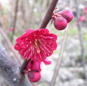真っ赤な花を咲かせます。梅(ウメ)苗 鹿児島紅梅(カゴシマコウバイ) 1.2m