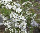 こぼれるような白い花(ユキヤナギ)雪柳ユキヤナギ(雪柳) L