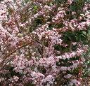ピンクの花(ピンクユキヤナギ)雪柳ユキヤナギ(雪柳) フジノピンキー L