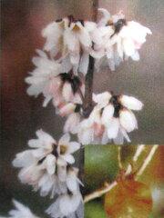 団扇の木 (うちわのき)白花レンギョウ苗(シロバナレンギョウ)ウチワノキ4号ポット