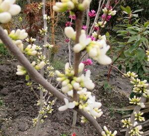 ハナズオウ 白花 1.2m