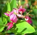 枝条が繊細で美しい品種宮城野萩(ミヤギノハギ)