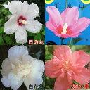 開花期の長い花木ムクゲ 中苗