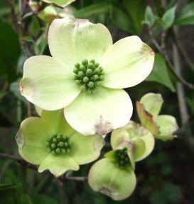 アメリカハナミズキ クラウドナイン(白花) 1m