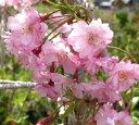 枝が柔らかく枝垂れる桜八重紅枝垂れ桜(ヤエベニシダレザクラ)1.8m