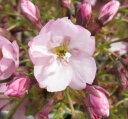 鉢植え用のミニのサクラ一才桜(イッサイザクラ)アサヒヤマ(旭山)