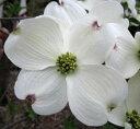 白花のハナミズキ 花水木(ハナミズキ)5号ポット苗 白花 1.0m〜1.1m R