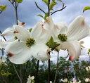 初夏に鮮やかな黄色の斑入り葉、白花 花水木(ハナミズキ)レインボー 1.2m〜1.3m